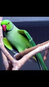 Looking for a Indian ring neck
