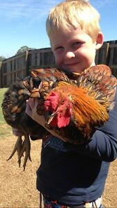Poultry re-homing service Jimboomba Logan Area Preview