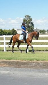 quiet and sensible TB gelding Brighton East Bayside Area Preview