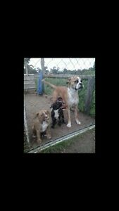 Boxer / American Bulldog X puppies Cowaramup Margaret River Area Preview