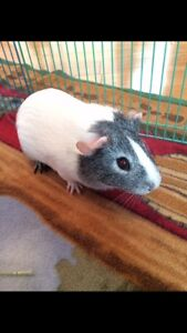 Guinea Pigs Available for Adoption