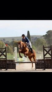 Free lease or sale 16.2hh Eventer Kilmore Mitchell Area Preview