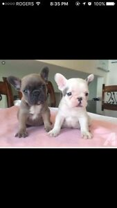 Looking for a (French or English) bulldog puppy