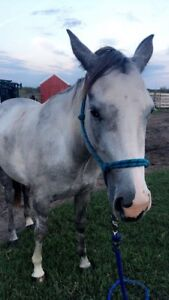 3 year old Grey-Paint Filly