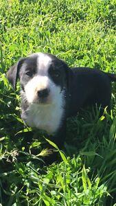 Border Collie x Kelpie Pup Trangie Narromine Area Preview
