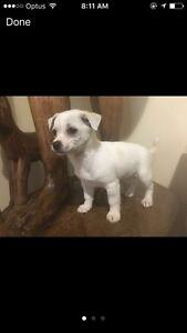 Chihuahua x Maltese  puppy for sale Craigieburn Hume Area Preview