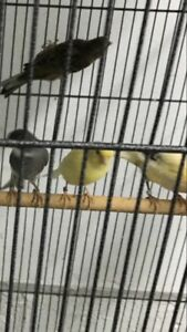 Female canaries for sale