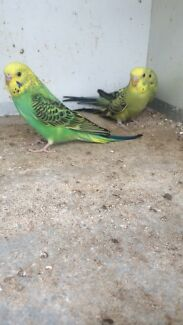 5 young budgies Virginia Playford Area Preview