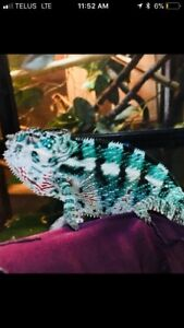 Beautiful chameleons for sale