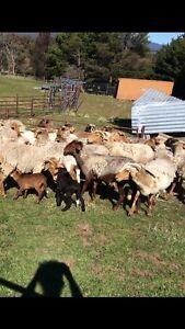 Damara ewes and lambs Burra Queanbeyan Area Preview