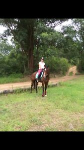 Bay TB gelding Ourimbah Wyong Area Preview