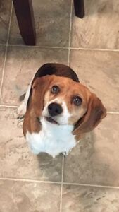 Family looking for a quiet loving beagle!