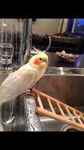 2 Cockatiels For Sale
