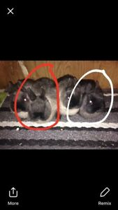 Two Netherland dwarfs left