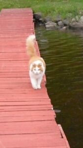 Missing Orange and White Cat Mount Uniacke