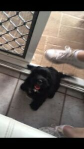 Toy Cavoodle female puppy