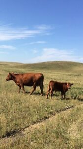 Cow/Calf pairs for sale