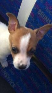 Expression of interest - Fox Terrier puppy Melbourne CBD Melbourne City Preview