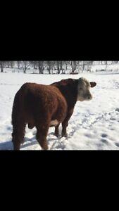 Registered Hereford bull