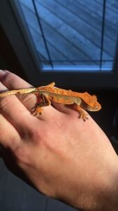 Beautiful crested gecko for sale!