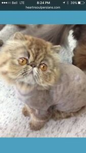 2 chocolate tabby Persian Gals looking for loving 4ever home