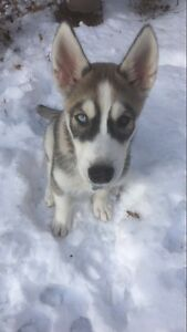 Please help us find our Husky!