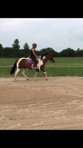 Large pinto pony gelding , 6 years old
