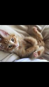 Recherche chaton roux