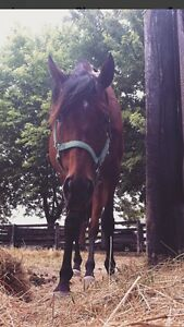 Cute TB mare up for sale