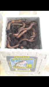 Fishing worms for sale in Sand Point!