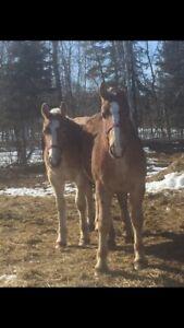 Pulling bred colt