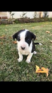 Purebred Border Collie Pups Little Billabong Greater Hume Area Preview