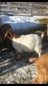 Meat Goats For Sale