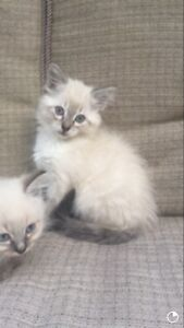Purebred ragdoll kittens for sale TWO LEFT