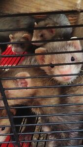 Young ferrets! Melton Melton Area Preview