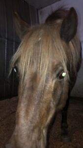 11 year old pony to lease