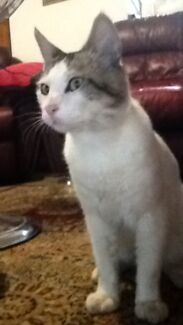 Lost:  White male Cat Joondalup/Candlewood Joondalup Joondalup Area Preview