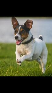Looking to adopt young Jack Russell