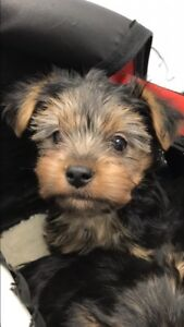 Yorkie babies and Adults