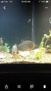 Mature breeding pair of piranhas