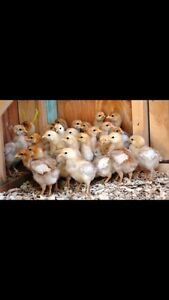 FREE Pullets chickens Port Kennedy Rockingham Area Preview