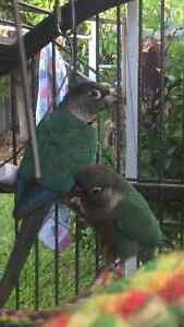 Aviary raised blue green cheek conures Burleigh Waters Gold Coast South Preview