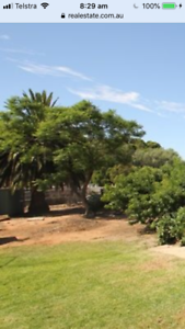 Large Canary Island Palm  tree to sell.