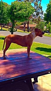 Red nose pup for sale Albany Creek Brisbane North East Preview