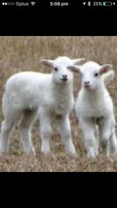 Wanted a baby female goat for pet Revesby Bankstown Area Preview