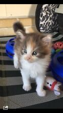 Maine Coon Kittens  Castlereagh Penrith Area Preview