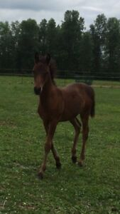 100% Foundation Morgan Filly