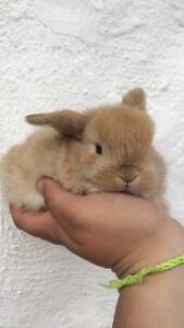 Litter of tiny and adorable holland lop baby bunnies for sale!
