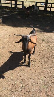 Hand reared miniature buck goat