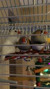 Zebra Finches-Birds